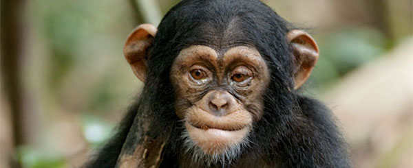 'Chimpanzee' Proves That Baby Chimpanzees Are Cute