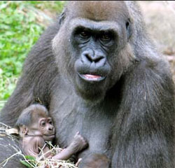 Great Apes and Baby