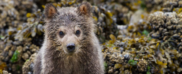 'Bears' Review: It's No Grizzly Man